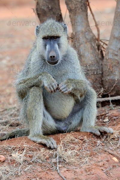 Baboon in National park of Kenya