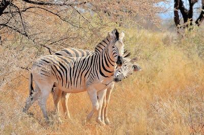Zebras playing