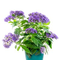 Isolated potted purpled garden heliotrope flower
