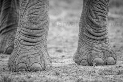 Elephant feet in black and white.