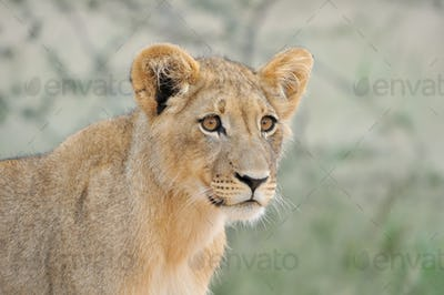 Lion cub in the Kalahari 2