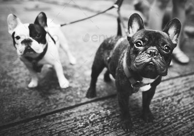 French Bulldog Animal Canine Dog Pedigree Concept