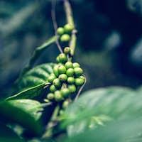 green cofee