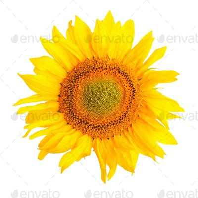 Sunflower isolated on a white background. Top view