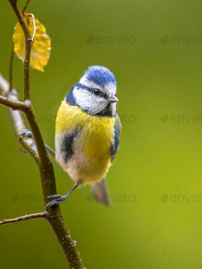 Eurasian blue tit perched