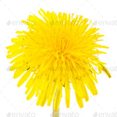 Isolated yellow dandelion flower blossom