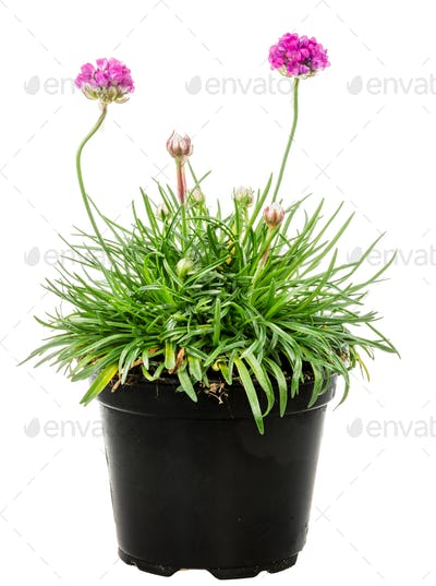 Isolated potted pink Armeria flower