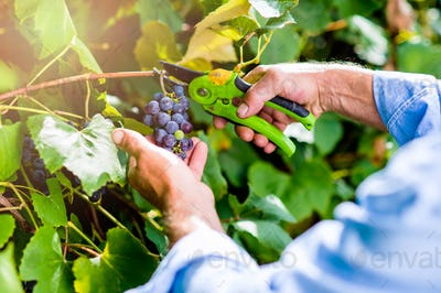Unrecognizable man cutting bunch of ripe blue grapes