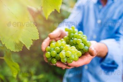 Senior man in blue shirt harvesting grapes in garden