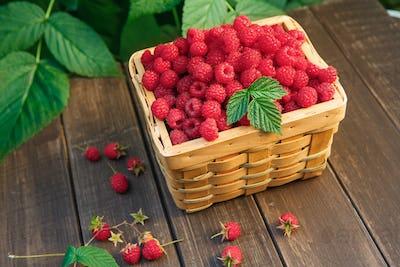 Basket with raspberries near bush on wooden table in garden