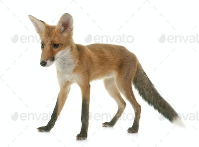 fox eating a chick