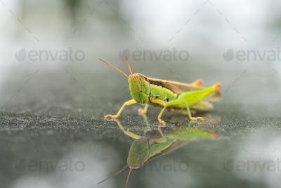 green grasshopper closeup