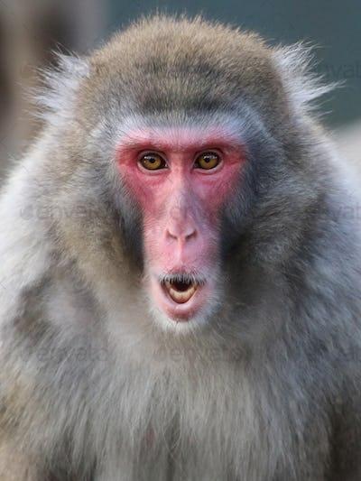 Cute Japanese monkey