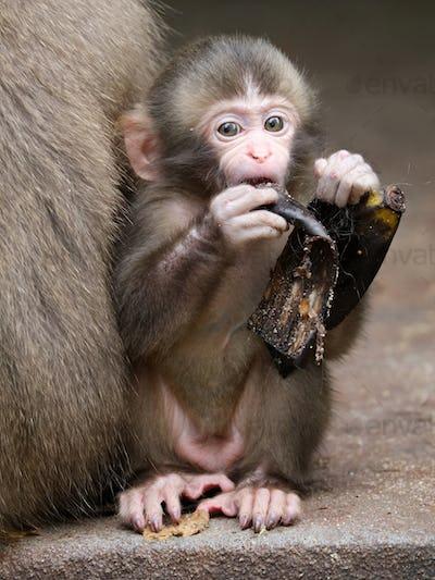 Japanese monkey baby