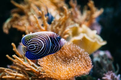 Pomacanthus navarchus blue angel sea fish in aquarium