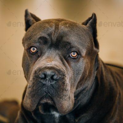 Cane Corso Dog Close Up Portrait