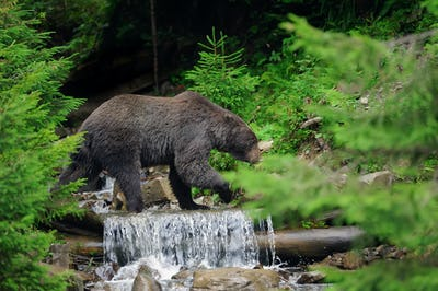 Brown bear in water