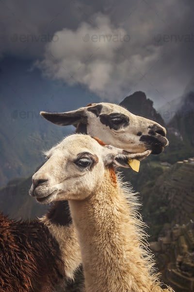 Two Llamas in front of Machu Picchu