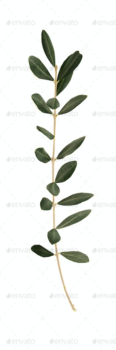 Olive tree twig with leaves isolated on white background