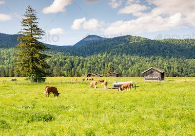 Herd of cows at a pasture in Bavaria