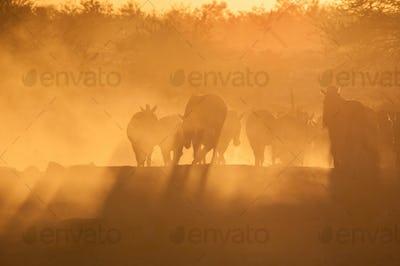 Zebras walking into a dusty sunset