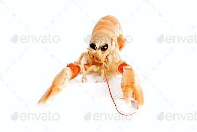 prawn isolated