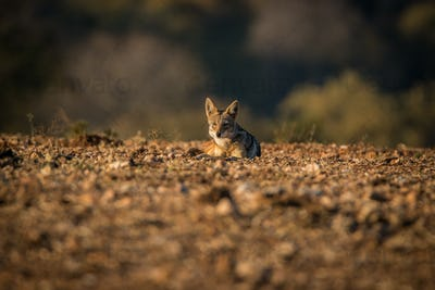 A Black-backed jackal laying on the ground.