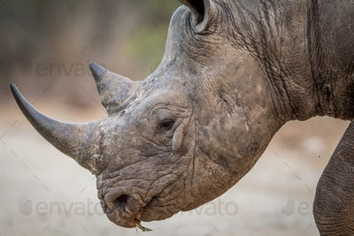 Close up of a Black rhino head in the Kruger.