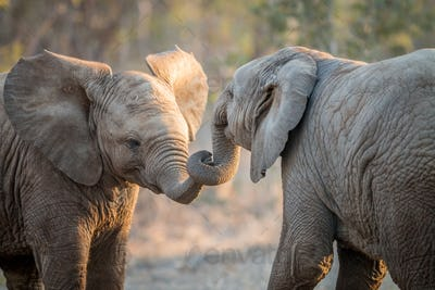 Elephants playing in the Kruger.