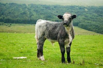 curious little grey calf