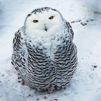Snow owl sitting