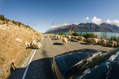 Herding sheep on the road, New Zealand