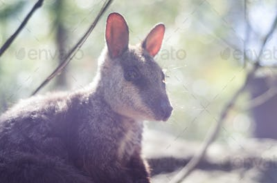 delicate kangaroo portrait