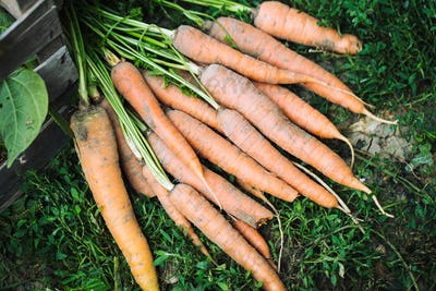 Just picked fresh organic carrots in grass