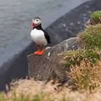 puffin bird - symbol of Iceland