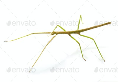 stick insect in studio