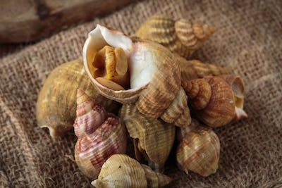 Raw fresh whelks