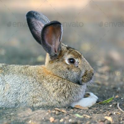 Close big rabbit