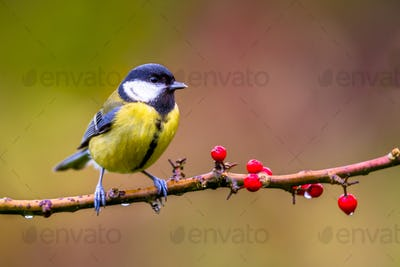 Great tit november background