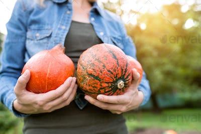 Unrecognizable woman in denim shirt, harvesting orange pumpkins