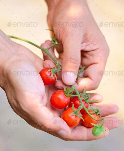 Farmer showing organic cherry tomatoes. Healthy food concept