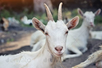 Close up portrait of a goat, outside in a courtyard of the farm