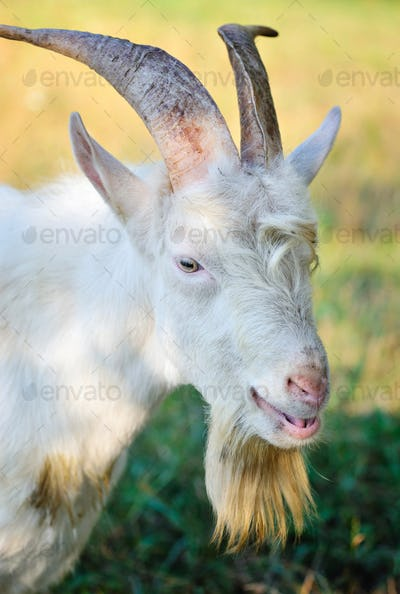 Close up portrait of a goat in the pasture