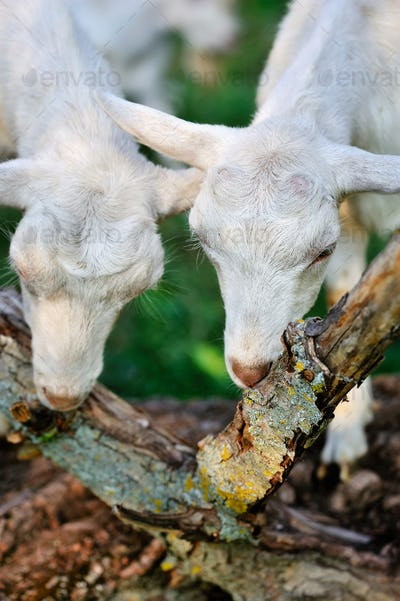 White goats on pasture eat bark