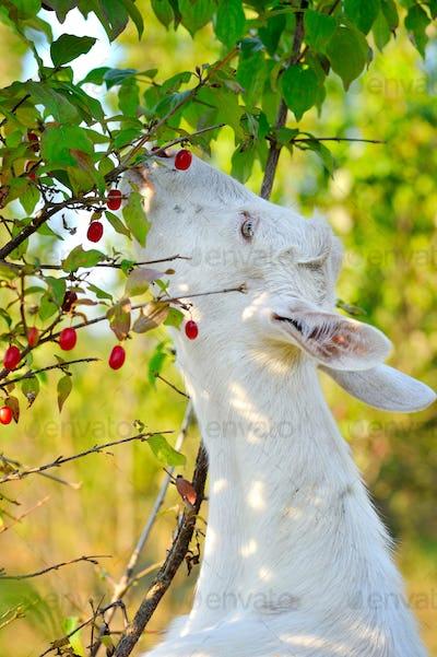 White goat standing on hind legs eating berries dogwood