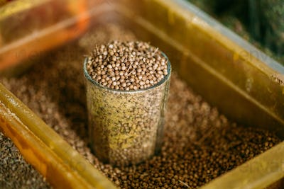 Close Full Glass Of Dried Coriander Fruits Seeds, Popular Spicy