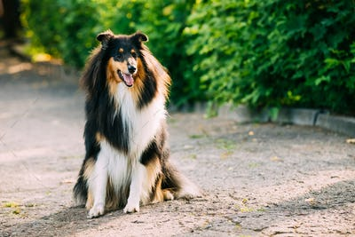 Tricolor Scottish Rough Long-Haired English Collie Lassie Adult