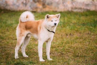 Akita Dog or Akita Inu, Japanese Akita Outdoor