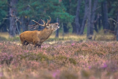 Roaring male Red deer in Heath