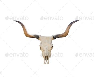 Buffalo skull on white